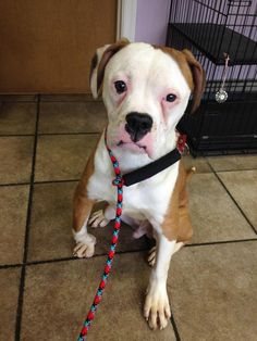 05/17/15-Meet Montana, a Petfinder adoptable Boxer Dog | Baltimore, MD | Hi - My name is Montana and I am a new member of the AARF family. I am a 9 month old, male, Boxer...