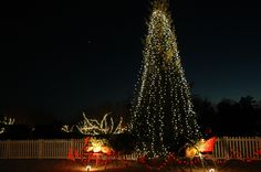 This 30 ft. tall Norway Spruce lights up our Four Seasons Lawn.