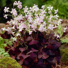 Purple Shamrock, Oxalis Triangularis, American Meadows, Bulb Flowers, Garden Plants, Balloons, Bloom, Exterior