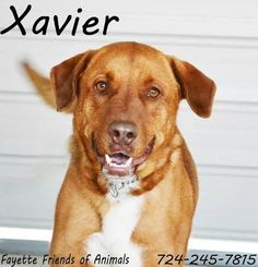 10/9/16 SL- Meet Xavier a Petfinder adoptable Golden Retriever Dog | Uniontown, PA | Xavier is close to 3 years old now. He is house trained and weighs about 80-85lbs. Xavier just...