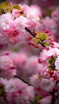 Cherry Blossom Time ....