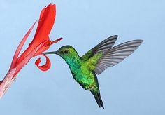 163_3007_12_kolibri.jpg (600×417)