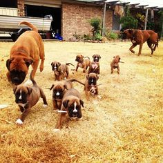 This is the kind of thing that would make me so excited! #BoxerDog #BoxerPuppy