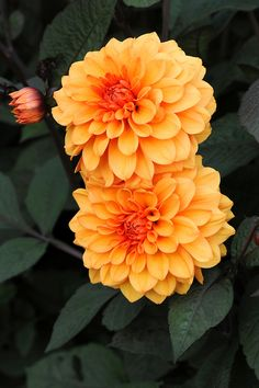 Dahlia 'David Howard', late September.