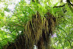 Large epiphyte on 400 year old Rimu.