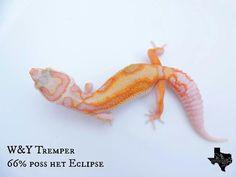 WY Tremper, Lonestar Geckos--Texas, now at FTG