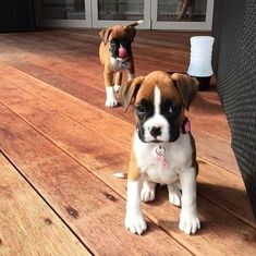 A little cuckoo in the best way. These are a few ways that parents of Boxer puppies might describe their pooches. Do you think a Boxer puppy is right for you? Brush up on your facts about Boxer puppies before you adopt! Boxer And Baby, Boxer Love, Cute Puppies, Cute Dogs, Dogs And Puppies, Doggies, Boxer Dog Puppy, Boxer Bulldog, Tier Fotos