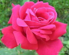 Fuchsia garden rose