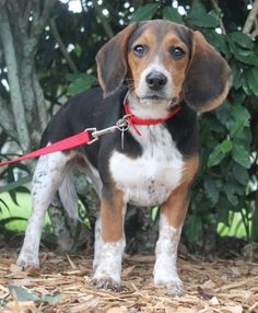 Check out Paris' profile on AllPaws.com and help her get adopted! Paris is an adorable Dog that needs a new home. https://www.allpaws.com/adopt-a-dog/beagle/3867490?social_ref=pinterest