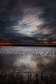 ~~Snow Geese ~ Bosque del Apache National Wildlife Refuge, Socorro County, New Mexico by Robert Chura~~