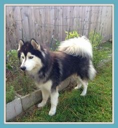 Kato is a stunning 5 year old Husky that was dumped in a shelter after his breeding services were no longer needed. He did not have much socialization and needs someone who is willing to work with his needs. He is not human aggressive at all but...