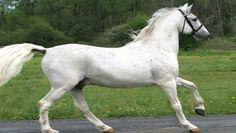 međimurski konj - Google-Suche