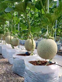 Kavun (Cucumis melo), kabakgillerden sürüngen gövdeli bitki türü ve bu bitkinin iri meyvesidir. Olgunlaşmamış hali de meyve olarak tüketilir ve bu haldeki meyvesine kelek denir. Bir yıllık otsu bir bitkidir. Sürüngen gövdesi metrelerce uzayabilir.