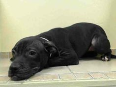 URGENT - Brooklyn Center    HAILEY - ID#A0988121   FEMALE, BLACK / WHITE, PIT BULL MIX, 6 mos  OWNER SUR - EVALUATE, NO HOLD Reason TOO MANY P   Intake condition NONE Intake Date 12/24/2013, From NY 11207, DueOut Date 12/24/2013, I came in with Group/Litter #K13-163915