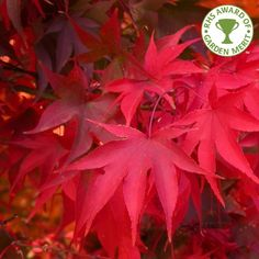 Seasons of interest: Spring, Autumn  One of the best acers for autumn colour, Osakazuki gives a rich display of scarlet. In spring and summer the 7 lobed foliage is green. Small red flowers are borne in the spring against the green foliage. Ideal for the smaller garden this small tree or large shrub prefers a slightly sheltered position avoiding full sun where possible. Expect roughly4 x 3 metres in 20 years.  AKA Japanese maple shrub, Acer palmatum Osakazuki, Ozakazuki Maple