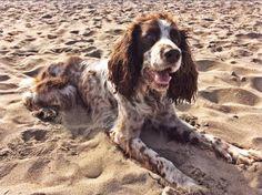 Freddy my Springer Spaniel on the beach...
