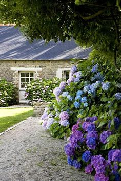 Blue and purple hydrangea hedge in a garden by a stone cottage via Thou Swell @thouswellblog