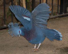 Goura vistoria - Victoria Crowned Pigeon