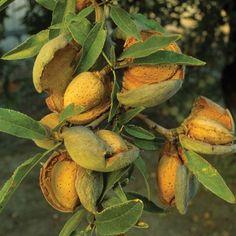 Carrier Oil - Almond oil