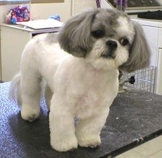 Shih Tzu Face Cuts | Groomers BBS: Shih Tzu Faces