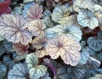 "Silver Scrolls Coral Bells - Heuchera Zones 4-9, Shade or morning sun Height: 7"" Spread: 12""  In spring, they are deep grape purple with a heavy steel-grey overlay and crisp veination. Their undersides are royal purple, revealed by the curling of the leaves. During the winter, the foliage turns  a rich violet hue. Produces rose-pink buds which open to greenish-cream flowers on 24 inch scapes in late spring."