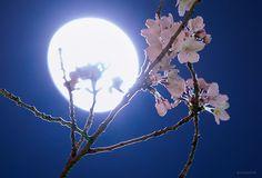 春の宵の可憐。 (本日、東京にて撮影) 今週もお疲れさまでした。 穏やかな週末になりますように。C80N-haUMAEMwbs.jpg:large 1,024×695 ピクセル