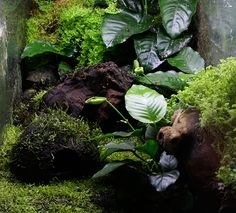 Anubias, one of the most under used terrarium plants! Often sold for fish tanks, these slow growing semi-aquatics are probably better for paludarium and rainforest terrarium use! Their leathery leaves are strong enough to hold very heavy animals for their size comparatively, and the leaves are very long lasting.