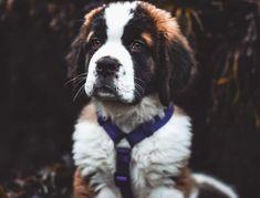 Baby St Bernard, St Bernard Puppy, St Bernards, Saints, Puppies, Photography, San Bernard Dog, Cubs, Photograph
