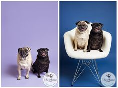 Cleveland pet photographer, Pugs, siblings, sister and brother, orchid, blue jean, pet photography, cleveland dog photographer, studio pet photography