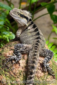 Also known as Eastern Water Dragon. Found on the east coast of Australia from Victoria north to Queensland. A small population also exists on the south-east coast of South Australia. Les Reptiles, Reptiles And Amphibians, Mammals, Geckos, Animals Beautiful, Cute Animals, Bearded Dragon Cage, Komodo Dragon, Water Dragon