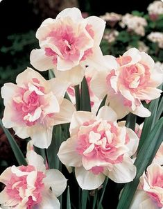 Daffodil Replete- double pink, self-naturalizing.