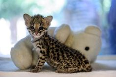 Tiniest tiger                 A tiger cub named Santana peers out from its box at a zoo in Mulhouse, France on Sept. 23.