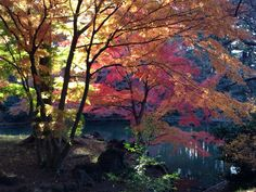 Autumn leaves of the bank of the pond in Shinjuku Gyoen National Garden. Dec. 8th