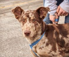 Meet Woodstock, an adoptable Catahoula Leopard Dog looking for a forever home. If you're looking for a new pet to adopt or want information on how to get involved with adoptable pets, Petfinder.com is a great resource.
