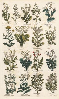There are many aromatic herbs which are good for both the nose and body. Get acquainted with some of these herbs along with their characteristics, here. Vintage Botanical Prints, Botanical Drawings, Botanical Art, Vintage Prints, Vintage Art, Botanical Posters, Photo Wall Collage, Picture Wall, Scrapbook