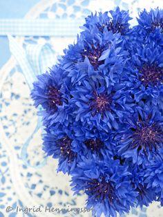 blue cornflowers @Tara Harmon Harmon Roberts