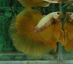 Yellow gold aquarium fish. Please help me ID it.