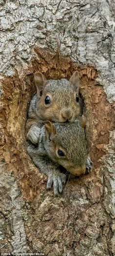 Two curious squirrels peer out of their nest for the first time
