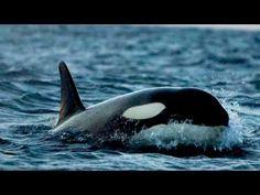 On a retrouvé les orques de Norvège www.santecool.net