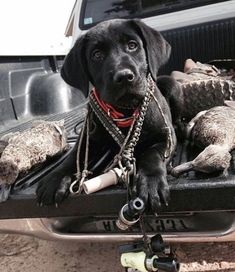 """** """"Whys yoo name me after a rifle? Whys yoo makes me ride home wif de morbid pile o' dead ducks?"""" ** """"Whys yoo name me after a rifle? Whys yoo makes me ride home wif de morbid pile o' dead ducks? Waterfowl Hunting, Duck Hunting, Hunting Dogs, Grouse Hunting, Hunting Stuff, Dog Photos, Dog Pictures, Rifles, Homeless Dogs"""