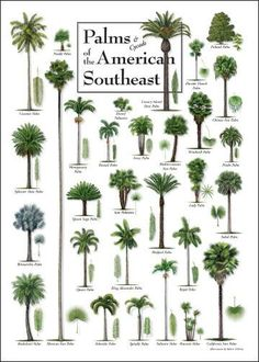 Types of palms palm tree varieties plant palm for Garden trees types