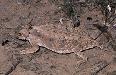 this horned lizard is stalking ants, it's flat shape and drab spotty coloring keeps it hidden from predators