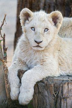 Adorable posing white lion cub