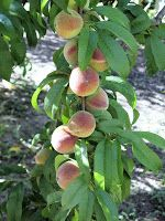 This is one of those years when we are reminded what peaches can really do. We only see peach fruit production like this in maybe one year o...