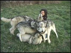 Monty Sloan attempts to photograph the Main Pack at Wolf Park   http://www.wolfpark.net