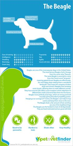 The #Beagle Infographic #dogs