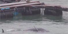 Elk jaar worden honderden dolfijnen gevangen genomen in Taiji, Japan. Dit jaar werden ze dubbel getroffen. Tyfoon Vongfong heeft de baai bereikt en schade aangericht. Enkele dolfijnen die er vastzitten, zijn slachtoffer geworden van de storm--ACTUEEL(dieren)