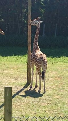That giraffe seriously loved that pole