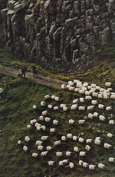 Walking with sheep in Scotland