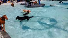 """In Idaho, when the 'dog days of summer' are over and the Nampa public pool is about to close, a new clientele comes to play: The """"Pooch Pool Party"""" allows dogs to take a swim before the water is drained for the year.  The annual dog-only swimming event began in 2007 as an idea to raise money to help build the Nampa Dog Park.  The Lakeview Pool party includes not only a dog swim, pet-friendly vendors and a raffle, but a 1-mile walk, entertainment, contests and more. Proceeds continue to help"""